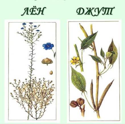 лен и джут растения