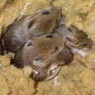Заводятся ли мыши в пенопласте