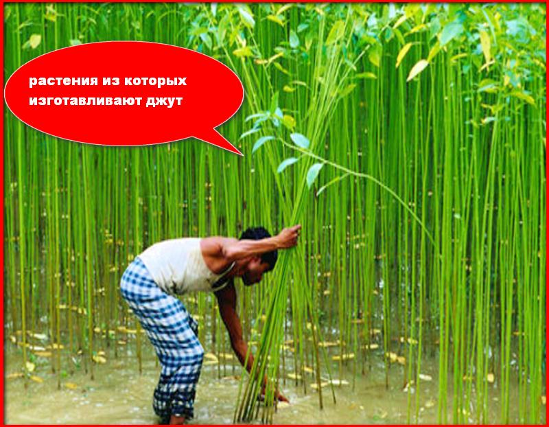 растение из которого изготавливают джут